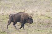 European Bison Bull — Stock Photo