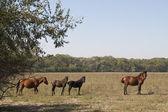 Wild Horses at Letea — Stock Photo