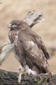 Common Buzzard — Stock Photo