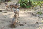 Lobos cinzentos — Fotografia Stock