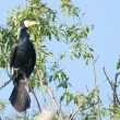 Great Cormorant - Stock Photo