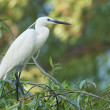 Little Egret - Stock Photo