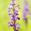 Anacamptis Palustris Palustris - wild orchid - Stock Photo