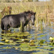 Stock Photo: Horse grazing waterlilies