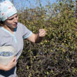 Young Woman picking sloe or blackthorn fruits - Stock Photo