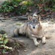 Gray Wolf Laid - Stock Photo
