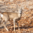 Roe Deer Buck — Foto de stock #21975977
