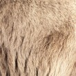 Bear Real Fur - Stock Photo