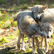 Stock Photo: Gray Wolves