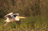 White pelican in flight — Stock Photo