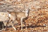 Karaca buck — Stok fotoğraf