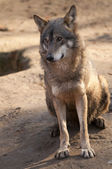 Gray Wolf Sitting — Stock Photo