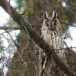 Stock Photo: Long-eared Owl in tree