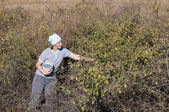 Young Woman picking sloe or blackthorn fruits — Stock Photo