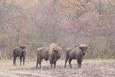 European Bison — Stock Photo