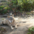 Gray Wolf Laid — Stock Photo