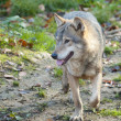 Gray Wolf in forest — Stockfoto