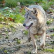 Gray Wolf in forest — Stock fotografie