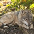 Stock Photo: Gray Wolf Laid