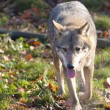 Stock Photo: Gray Wolf in forest