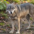 Gray Wolf in forest — Stock Photo