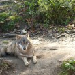 Stock Photo: Gray Wolf laying