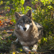 Gray Wolf laying — Stock fotografie