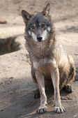 Gray Wolf Sitting — Stockfoto