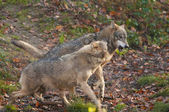 Gray Wolves — Stock Photo