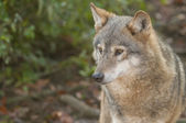 Gray Wolf — Stock Photo