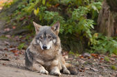 Gray Wolf Laid — Stock Photo