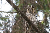 Long-eared Owl in a tree — Stock Photo