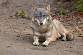 Gray Wolf laying — Stock Photo