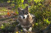 Gray Wolf laying — Stock Photo