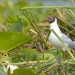 Stock Photo: Black Headed Gull in vegetation