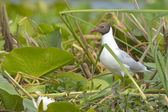 Black Headed Gull in vegetation — Stock Photo