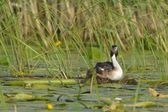 Great Crested Grebe on Nest — Stock Photo