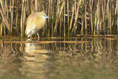 Squacco Heron near Reed — Stock Photo