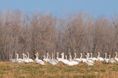Whooper Swans Flock in Winter — Stock Photo