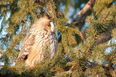 Long Eared Owl on fir tree — Stock Photo