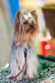 Yetişkin köpek yorkshire korkunç — Stok fotoğraf