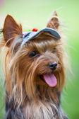 Yorkshire terrier in einem cap — Stockfoto
