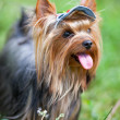 Yorkshire terrier in cap — Foto de stock #18841585