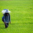 Stock Photo: Farmer spreading fertilizer in rice field