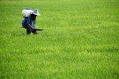 Agricultor esparcir fertilizante en campo de arroz — Foto de Stock