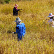 Stock Photo: Farmer harvesting in rice field