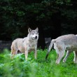 Stock Photo: Pack of wolves in natural