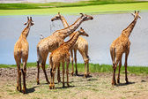 Group of Giraffes Eating Grass — Stock Photo