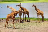 Group of Giraffes Playing Along River — Stock Photo