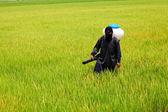 Farmer spreading fertilizer in rice field — Stock Photo